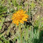 Orange agoseri