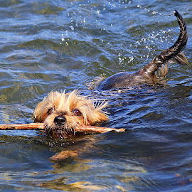 by Inger Lefstad - Animals - Dogs Playing