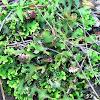 Pseudocyphellaria sp. Lichen