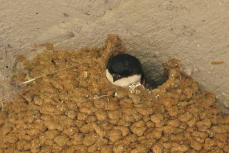 Photo: Common House-Martin