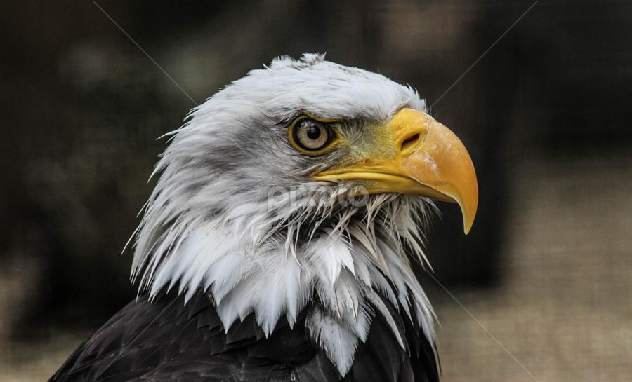 Damp Bonnie by Garry Chisholm - Animals Birds ( bird, bald eagle, prey, raptor )