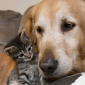 by Brook Kornegay - Animals - Dogs Portraits ( kitten, cat, pet, dog, tabby, golden retriever )
