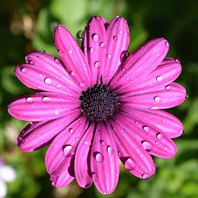 A Little Sprinkle Helps by Ed Hanson - Flowers Single Flower ( water, nature, drops, daisy, flower )