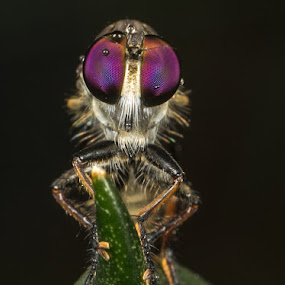 My Purple Eyes by Rustam Razali - Animals Insects & Spiders