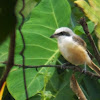 Philippine Brown Shrike