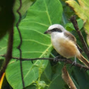 Philippine Brown Shrike