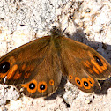 Large Wall Brown; Pedregosa