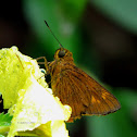 Prusiana Grass Skipper
