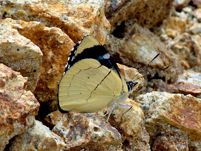 Photo: STRAW-VENTED PERICLOUD--perisama tryphana-- 3RD STOP, EL ARRAYAN STREAM & MEADOW SOUTH OF BAEZA--A MOST WANTED SPECIES