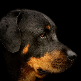 Rottie by Aaron Shaver - Animals - Dogs Portraits ( warm, dark, mood, beauty, glow, dog, pretty, light, black, portrait, eyes, rottweiler )