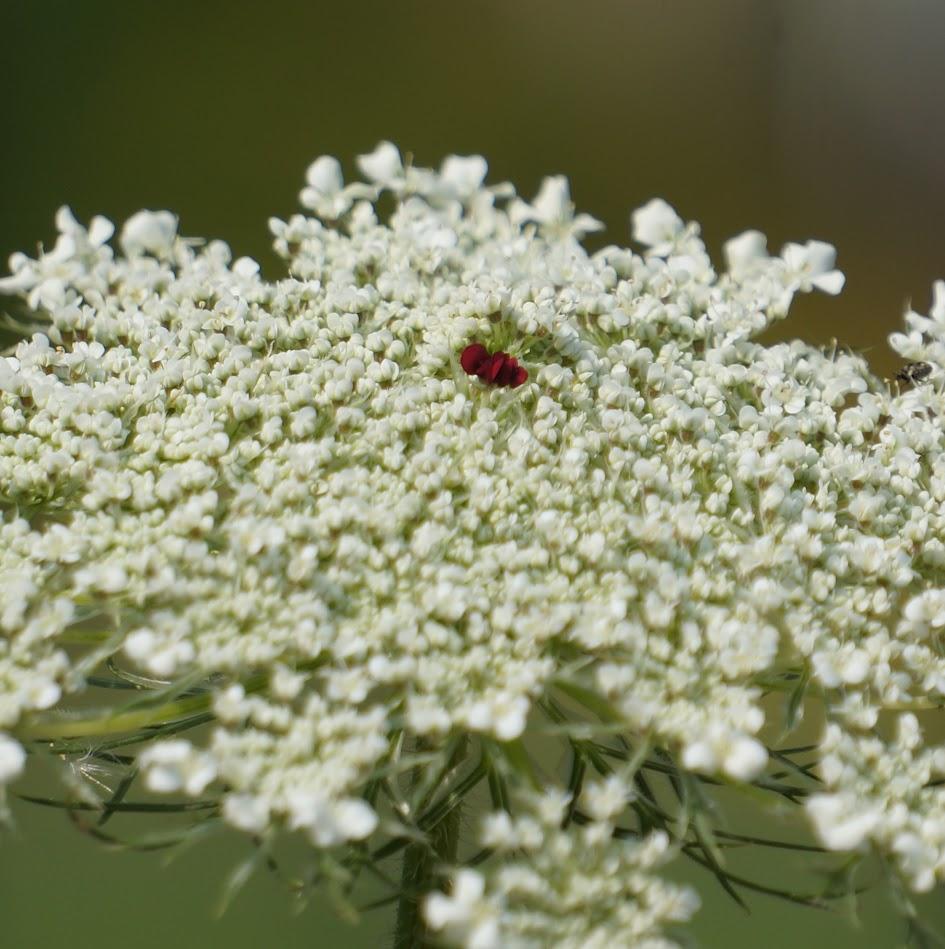 middelste bloem
