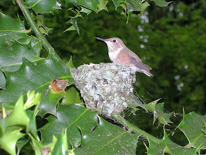 Photo: Rufous Hummingbird chick is fully fledged and ready to leave the nest.