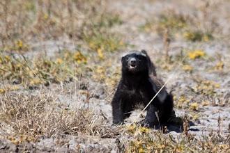 Photo: Central Kalahari NP - Honey badger / Central Kalahari NP - Medojed kapský