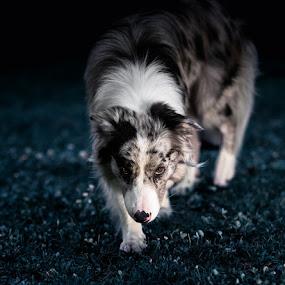 Shepherd Cottage Uran - Lemmy by Enrico Mosca - Animals - Dogs Portraits ( lemmy, blue merle, cottage, shepherd, uran, dog, border collie )