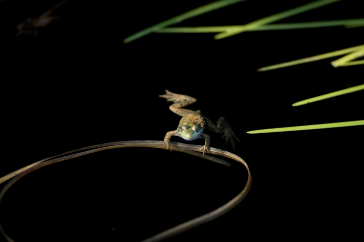 Olympic Frog Games di Andrea Izzotti
