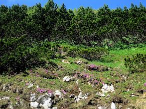 Photo: Die Schneealpe ist um diese Jahreszeit ein wunderschön blühender Alpengarten.