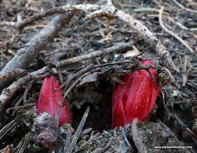 Photo: Newly emerging snow plant, Sarcodes sanguinea