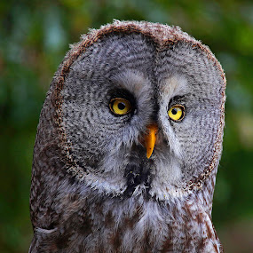 Great Gray by Wilson Beckett - Animals Birds (  )