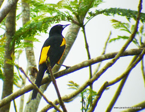 Photo: Black-vented Oriole; Rancho Primavera, near Tuito, Jalisco