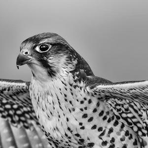 lanner falcon (Falco biarmicus) 2.jpg