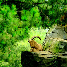 Oreamnos americanus by Hanz Photophoto - Animals Other Mammals