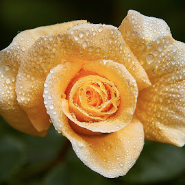 0 Rose 9709~ by Raphael RaCcoon - Flowers Single Flower