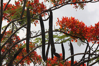 Photo: Day 322 - The Forest Flame Tree (Delonix Regia)