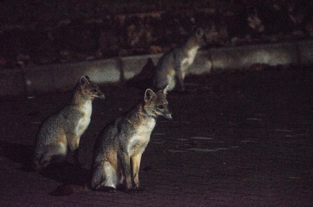 Zorros perros en Usaquén