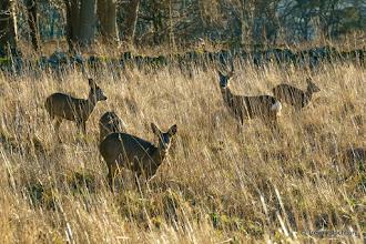 Photo: Roe Deer,  Aberdeen