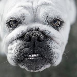 2012-06-16 - Bulldog.jpg