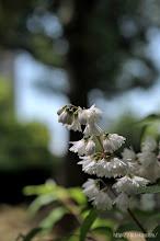 Photo: もっとも、蜜を多く含むせいか、まわりには大きな熊蜂が多いので要注意。(2014,05,24)