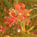 Kair tree, Caper plant