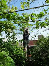 Photo: 農婦整理苦瓜藤 & 因太熱還長不出瓜的絲瓜藤  99.07.11.攝影