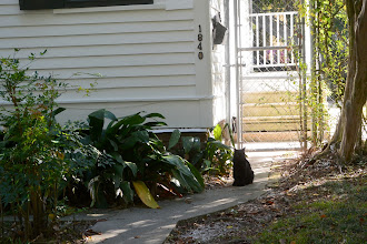 Photo: And at the back stoop, to a separate address on Cherokee, at least one of the three cats I saw a couple of years ago .