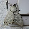 Velutina Moth