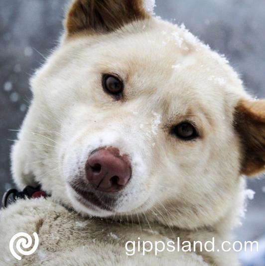 Mt Baw Baw Alpine dingo in the snow