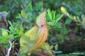 Photo: Pitcher plant at Lowell Lake State Park by Lene Gary