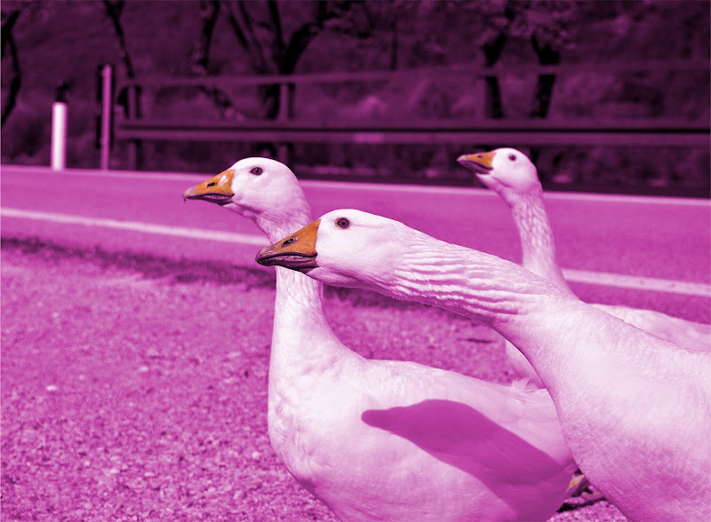 Pink oca di FlyBoy