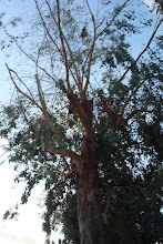 Photo: Let's just say a large chunk of this tree is no more!