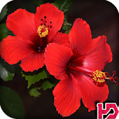 Hibiscus Flower Wallpaper Hd