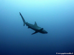 Photo: #017-Requin des Galapagos. Cocos 2010