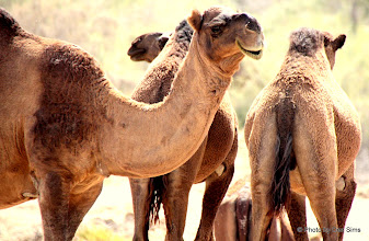 Photo: Day 160 - Herd of Camels #3