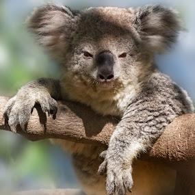 Katie the Koala by David Hammond - Animals Other Mammals ( bear, animals, tree, nature, koala, mammal,  )