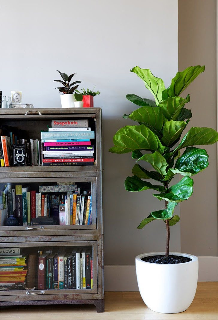 Fiddle Leaf Tree (5 Unique Five Year Anniversary Gift Ideas).