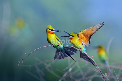Bees Blue Blue-tailed Bee-eater by Sasi