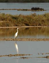 Photo: Great Egret (Airone Bianco Maggiore), Vendicari Wetlands, south of Avola