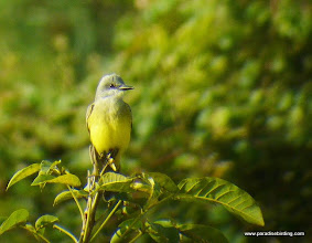 Photo: Tropical Kingbird; Rancho Primavera, near Tuito, Jalisco