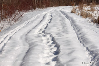 Photo: Share the trail - skiers, snowshoers, and coyotes
