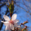 Peach Tree Bloom