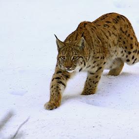 Lynx by Blaz Crepinsek - Animals Lions, Tigers & Big Cats ( , snow, winter, cold )